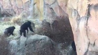 RAW FOOTAGE: ST. LOUIS ZOO CHIMPANZEES ATTACK RACOON