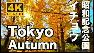 4K 昭和記念公園のイチョウ並木(銀杏)紅葉  Autumn Tokyo 東京の紅葉 Ginkgo in Showa Memorial Park 東京観光  iPhone 11 Proで 動画撮影