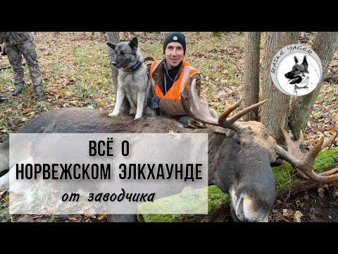 Лучшая собака на Лося Медведя и Кабана Норвежский Элкхаунд