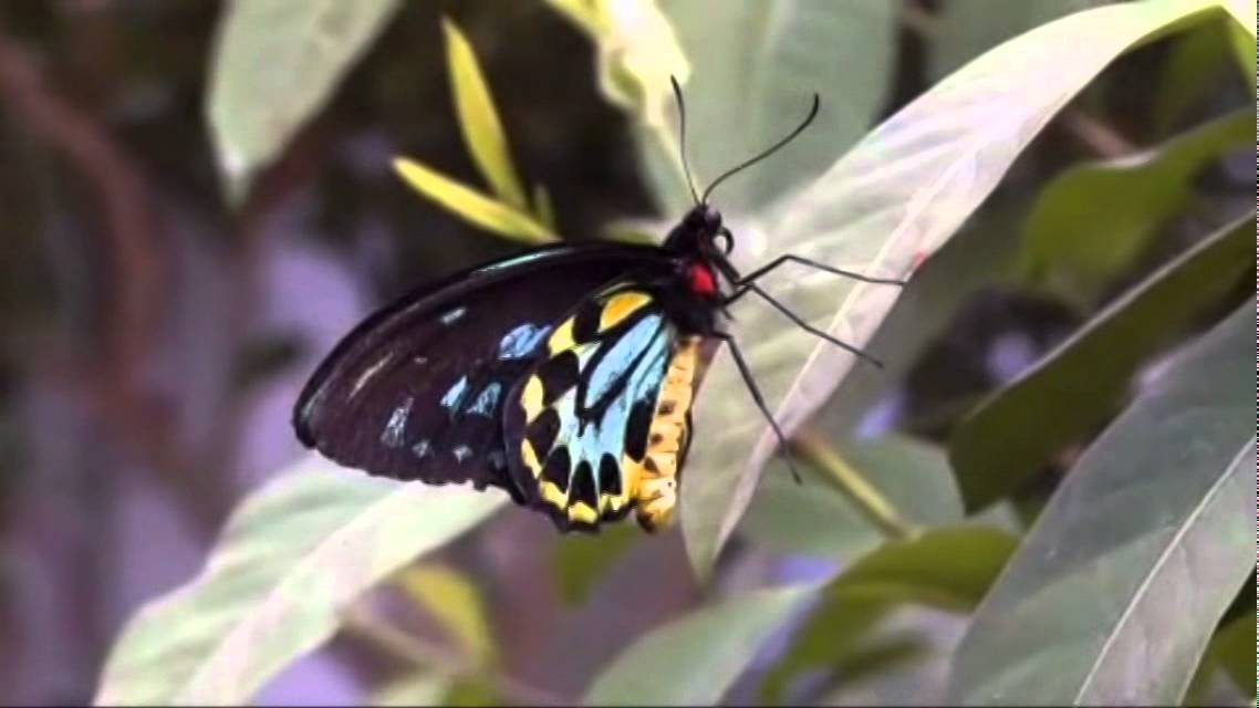 Paraziták lepkék lepkéknél - Gyógynövények gyűjteménye parazitaellenes