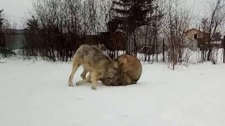 волк против волка, волки против маламута