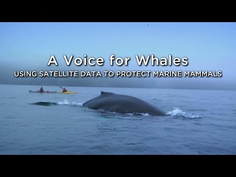 A Voice for Whales: Using Satellite Data to Protect Marine Mammals