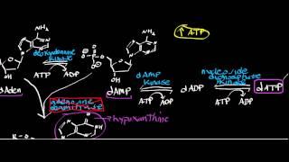 Adenosine Deaminase Deficiency (Part 1): How Does dATP Accumulate?