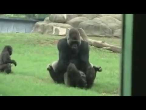 Gorillas having fun at ATLANTA ZOO! MATING!