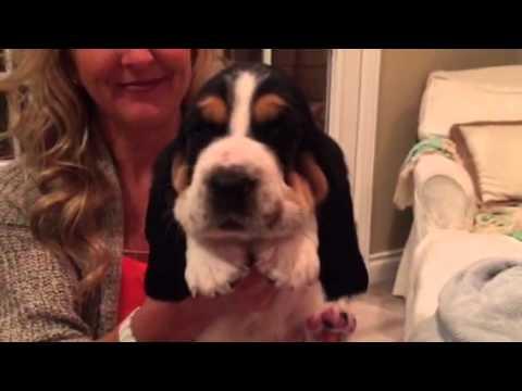 Baras 4 week old European basset hound pups