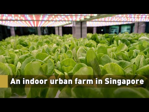 Live: An indoor urban farm in Singapore 都市中的智慧农场