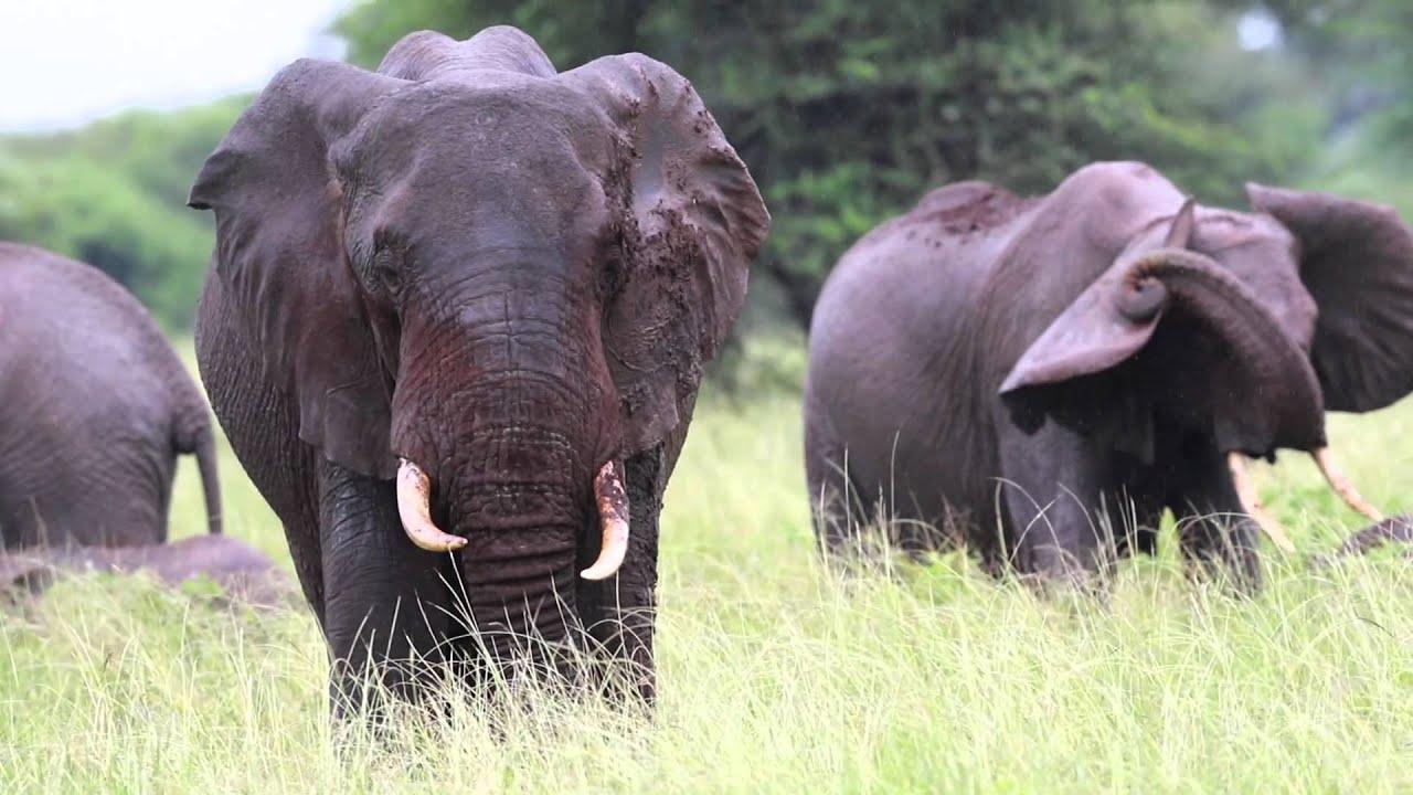 Elephant elephants and more elephants i love elephants elephant elephants and more elephants i love elephants robswildlife biocorpaavc Image collections
