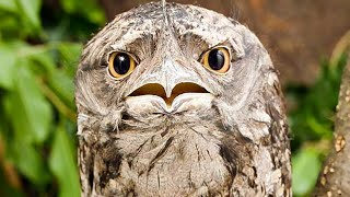 Your Life Will be Better After you Know About Frogmouths