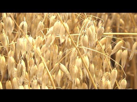 Oat Harvest in Arkansas