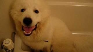 コロです。 飼い主がシャワーを浴びようとすると必ず風呂に侵入します。