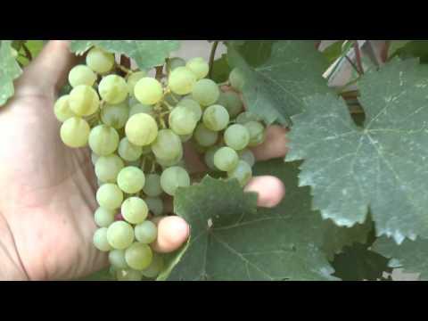 Сорта винограда: Рислинг итальянский, Мускат цитронный, Цитронный магарача