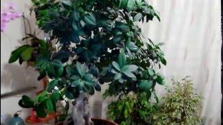 Бонсай полезные советы по уходу и формированию(Бонсай возник в Китае и относится к эпохе династии Тан (VIII—X вв.) — растение, взятое из природы и пересаженно..., 2016-02-28T16:48:17.000Z)