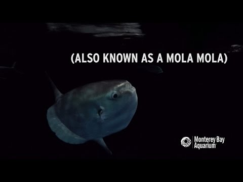 Meet Our New Ocean Sunfish! - 동영상