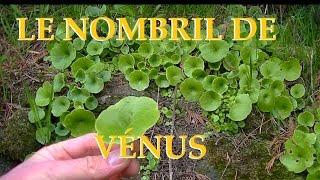 Le nombril de Vénus plante sauvage et comestible, vertus et propriétés.