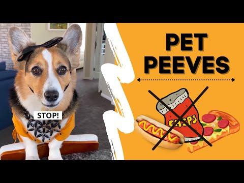 Corgi TRIGGERED by Pet Peeves! #shorts