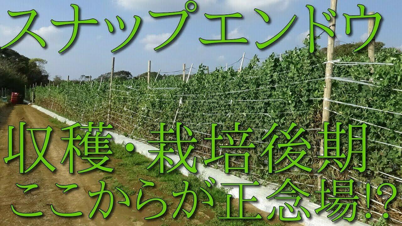 スナック エンドウ 栽培