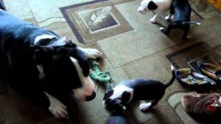 Питбуль,щенки играют между сабой и с папой!!!