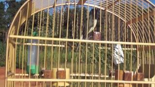 Canto do pássaro papa capim tui-tui
