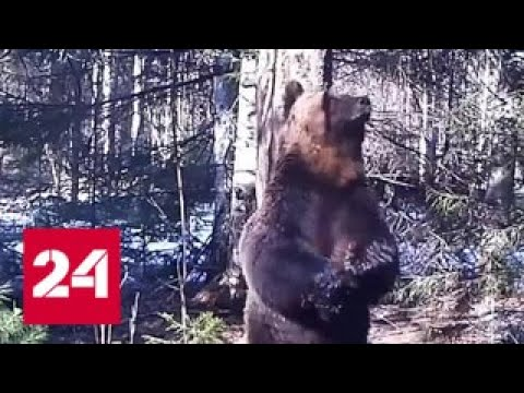 Ночной танец медведя...