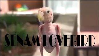 Single Terbaru -  Senam Lovebird Dj Dalinda Aisyyah Maimunnah