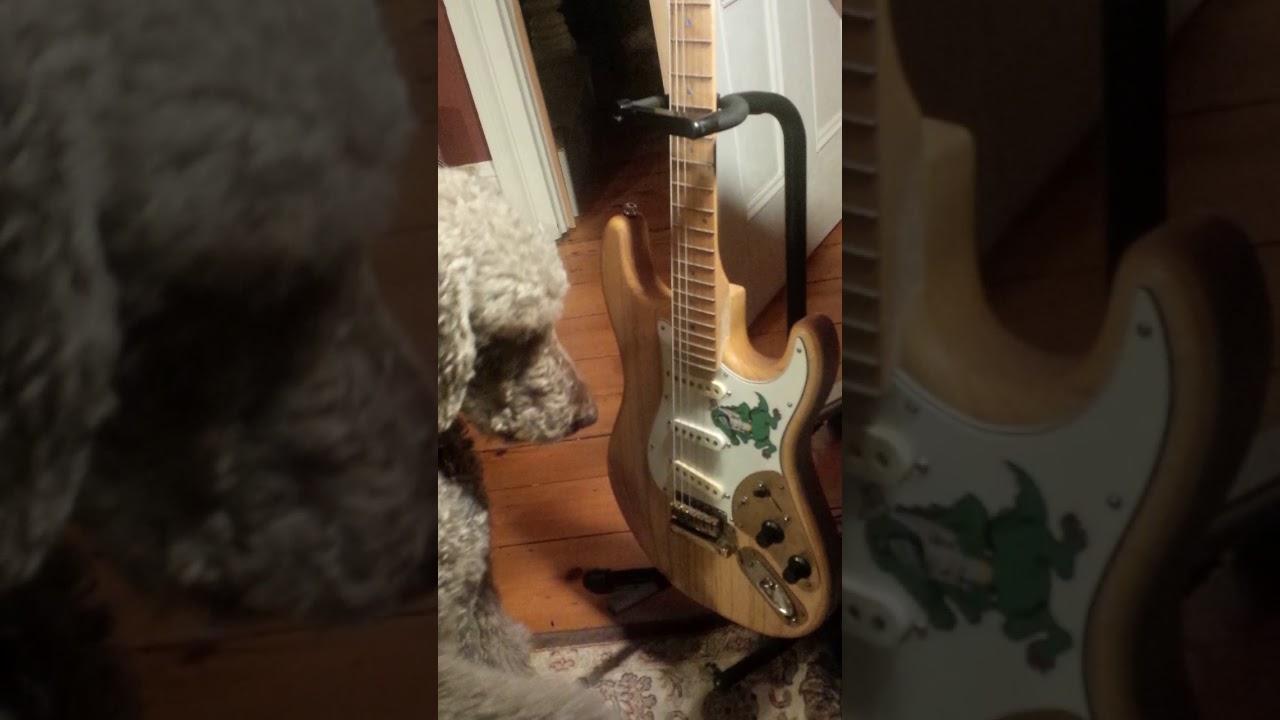 Standard Poodle Plays Jerry Garcias Alligator Guitar Youtube