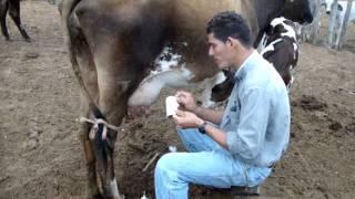 Como tirar leite de uma vaca