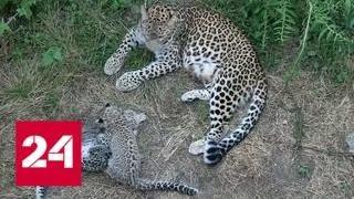 В приморском заповеднике смогли предотвратить вымирание леопардов - Россия 24