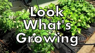 What's Growing? Spring Vegetable Garden Tour