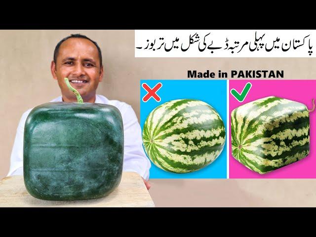 Square Watermelons Pakistan | Square Watermelon Farming | Mubashir Saddique | Village Food Secrets