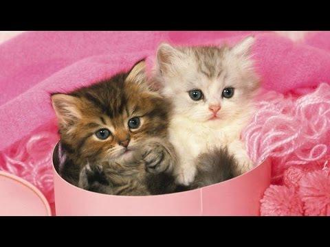 Mini gatti le 5 razze più piccole del mondo