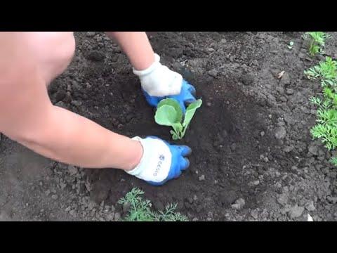 Как правильно садить капусту рассадой в открытый грунт