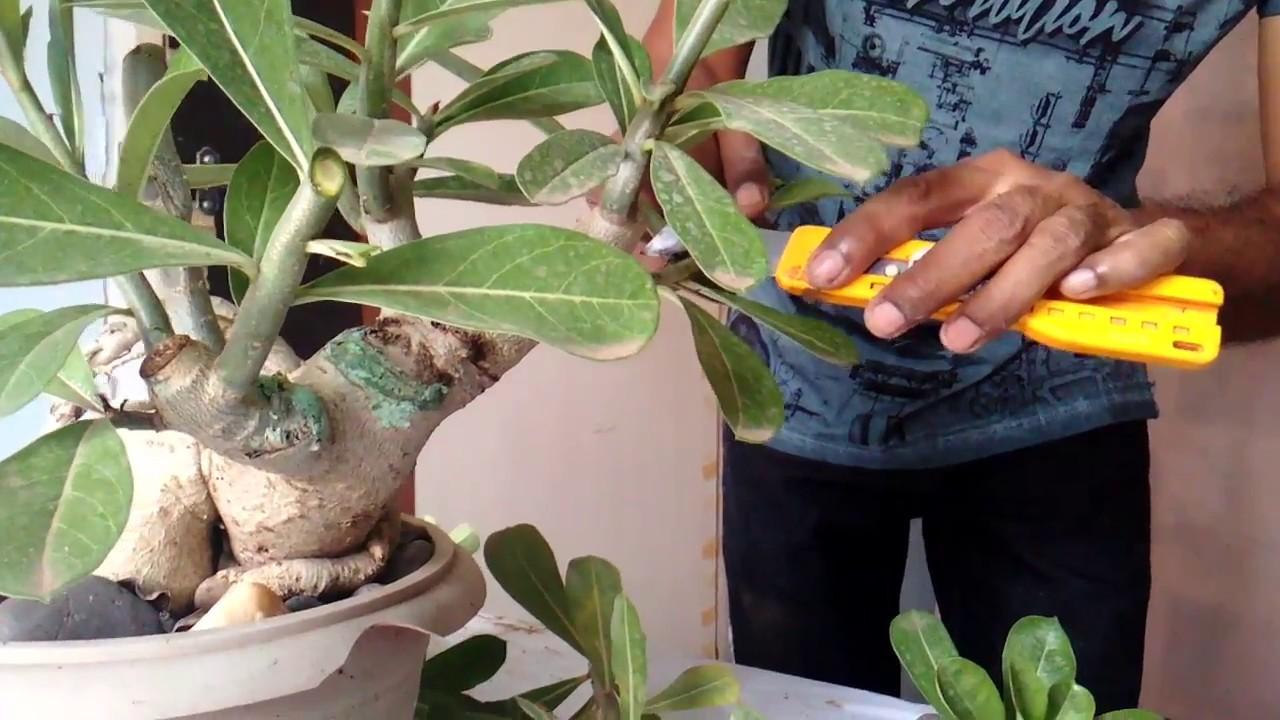 How to trim a rose bush - How To Trim A Rose Bush 35