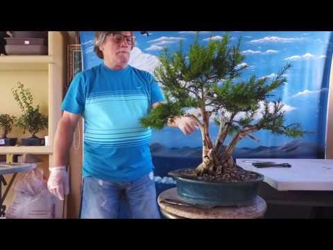 Actualizacion tanuki de el tejo taxus baccata limpieza y alambrado 3 parte