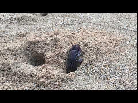 セイシェルのカニ【穴掘り】Republic of Seychelles  crab
