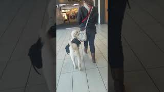 "Service dog does a PERFECT ""Heel"" and ""watch me"" in the busy mall!"