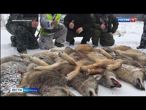 Вопрос: Сколько заплатят охотнику в Коми за добытого волка и медведя в 2020 году?