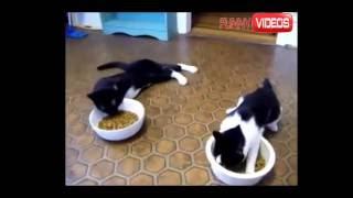 #Вот прикол!!!  Коты напились Валерьянки!!! Смешное видео про кошек#