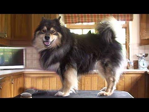 Dog Breed Video: Finnish Lapphund