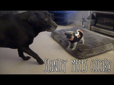 Pug Puppy Meets Labrador