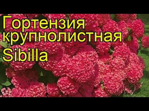 Гортензия крупнолистная Sibilla. Краткий обзор, описание характеристик