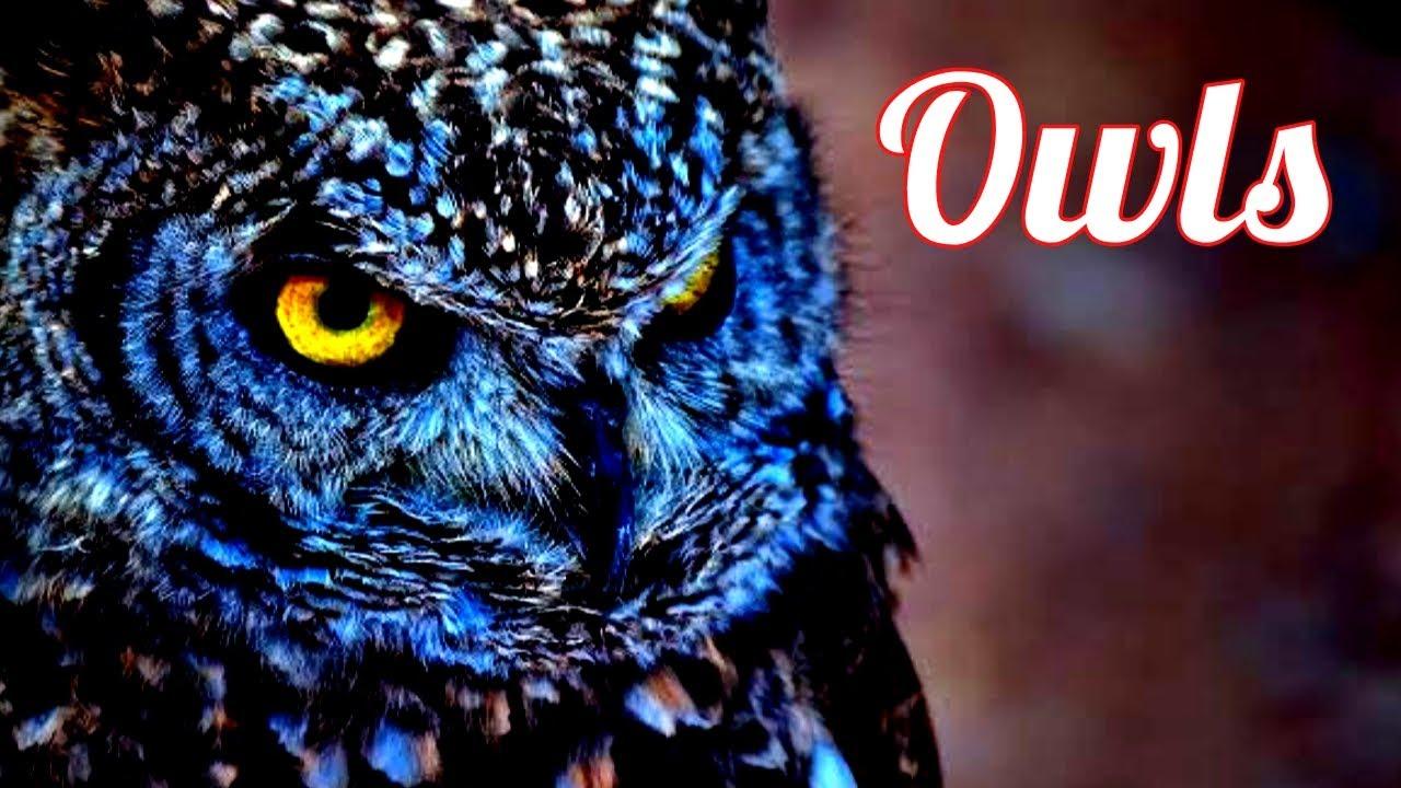 Owls / Ullu