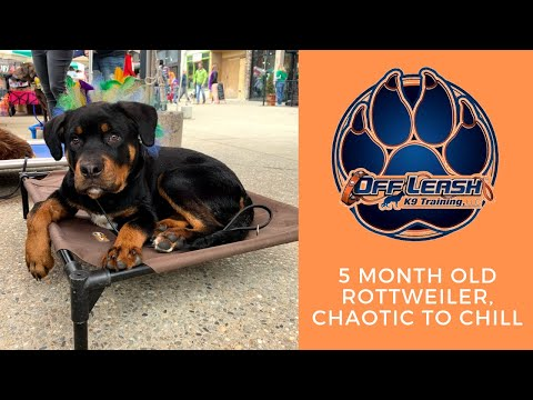 Asheville Dog Trainer - Chaotic To Chill In Two Weeks!