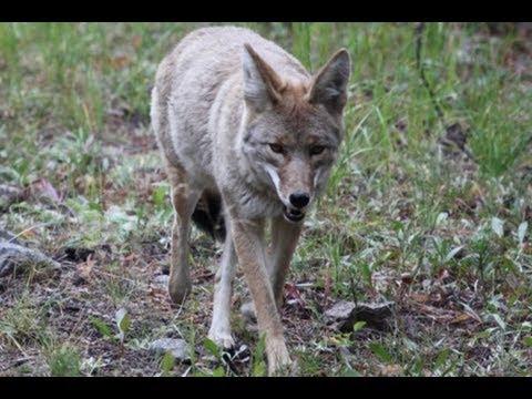SAFARI YELLOWSTONE 3- Cars and Coyotes!