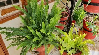 Care of Boston Fern in Summer || How to Grow and Care Your Fern Plant in Summer Season