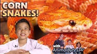 CORN SNAKES! Pet Reptiles with EvanTubeHD & AnimalBytesTV!