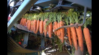 Cabbage and Carrot Harvesting Machine Modern agriculture