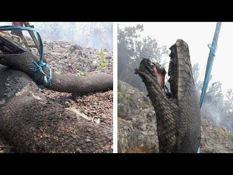 Raja ular Kalimantan hangus terbakar api; aksi berani polisi menempel di mobil -  TomoNews Terbaru