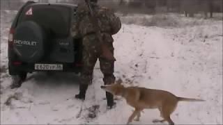 Охота с Русской гончей на лисицу