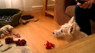 Westie Puppy Charlie Parker Hates 'the Wire' Season 1 Theme Tune!
