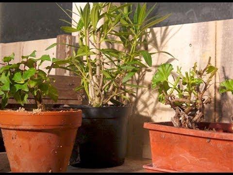 Hivernage des plantes frileuses au garage youtube for Hivernage des plantes